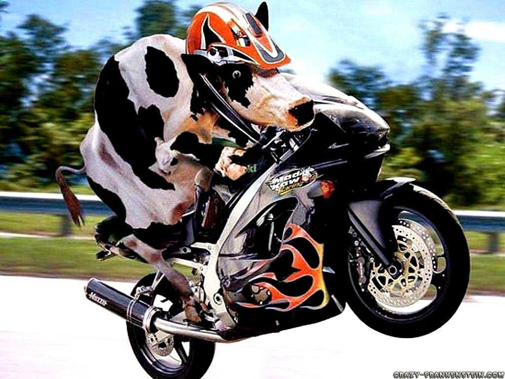 cow-on-motorcycle-funny-animal-wallpapers