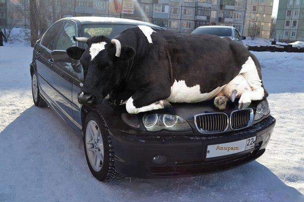cow_sleeping_on_car-other